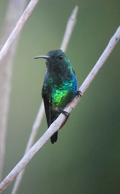 Shining-green hummingbird in Colombia. Flickr:Felix Uribe