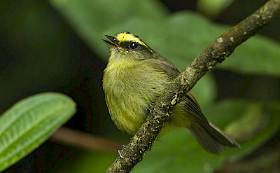 Yellow-bellied Chat-Tyrant in Colombia. Flickr:Francesco Veronesi