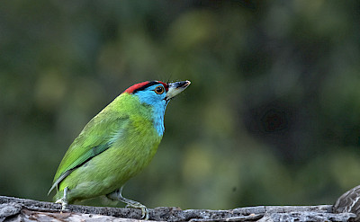 Blue-throated Barbet in India. Flickr:KoshyKoshy