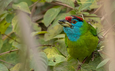 Blue-throated Barbet in India.