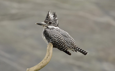 Crested Kingfisher in India. ©Christopher Mills