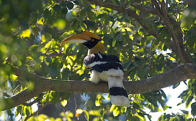 Great Hornbill in India. ©Christopher Mills
