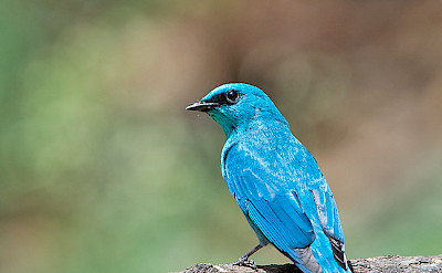Verditer Flycatcher in India. Flickr:KoshyKoshy