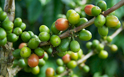 Coffee beans in the Coffee Triangle of Colombia. Flickr:McKay Savage