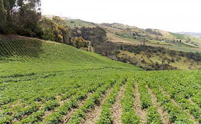 Crops in the Sumapaz Páramo in Colombia. Flickr:Daniel Amariles