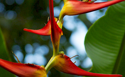 Haliconia flower in Colombia. Flickr:McKay Savage