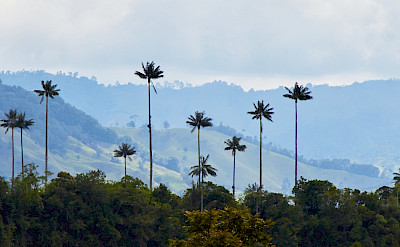 Wax palm trees, the national tree of Colombia, in the Cocora Valley, Salento. Flickr:Pedro Szekely