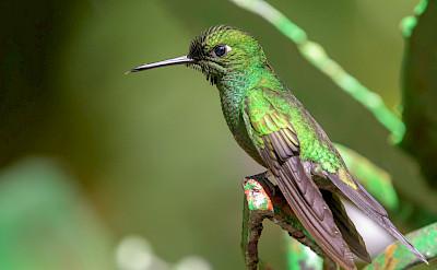 Green-Crowned Brilliant Hummingbird in Costa Rica. Flickr:Becky Matsubara