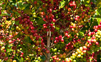 Coffee beans in Costa Rica. Flickr:sammay