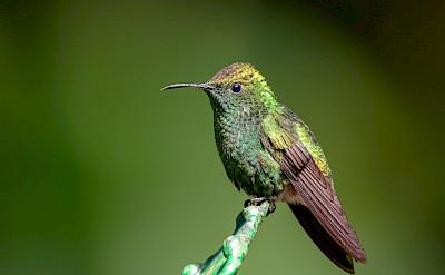 Coppery-Headed Emerald Hummingbird in Costa Rica. Flickr:Becky Matsubara