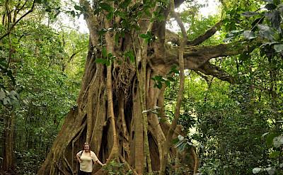 Giant Ficus at Curi-Cancha Reserve in Monteverde, Costa Rica. Flickr:Melinda Banks