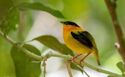Orange-Collared Manakin at Carara National Park, Costa Rica. Flickr:Becky Matsubara