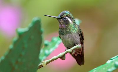 Purple-Throated Mountain Gem Hummingbird in Costa Rica. Flickr:Becky Matsubara