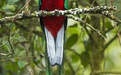 Resplendent Quetzal at the Cloud Forest in Costa Rica. Flickr:Francesco Veronesi