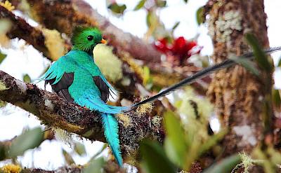 Resplendent Quetzal in Costa Rica. Flickr:ryanacandee