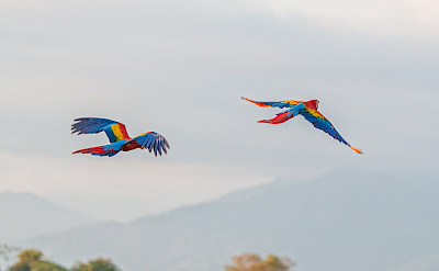 Scarlet Macaws at the Tárcoles River in Costa Rica. Flickr:Tim Sackton