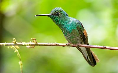 Stripe-Tailed Hummingbird in Monteverde, Costa Rica. Flickr:Becky Matsubara