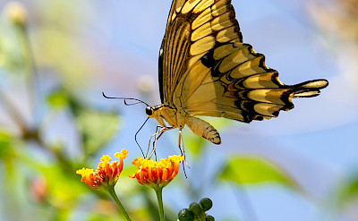 Thoas Swallowtail at Tárcoles River in Costa Rica. Flickr:Charlie Jackson