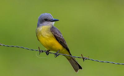 Tropical Kingbird in La Fortuna, Costa Rica. Flickr:Becky Matsubara