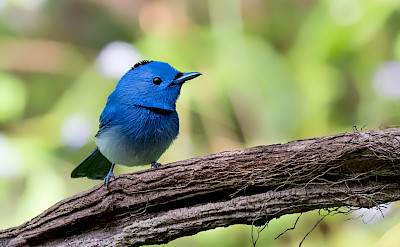 Black-naped Monarch in India. CC:Mprasannak