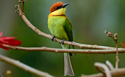 Chestnut-headed Bee-eater in India. CC:PJeganathan
