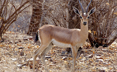 Chinkara at Ranthambore National Park in India. Flickr:Jon Connell
