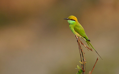 Green Bee-eater in India. CC:Trshankar Raman