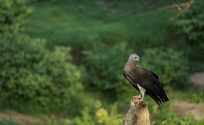 Grey-headed Fish Eagle in India. Flickr:Rohit Varma