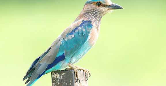 Indian Roller in India. CC:Koshy Koshy