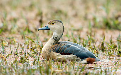 Lesser Whistling Duck at Chambal River in India. Flickr:Koshy Koshy