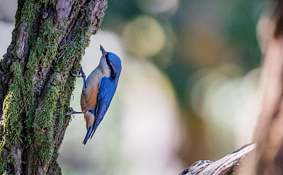 Nuthatch in India. Flickr:_paVan_