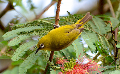 Oriental White-eye in India. CC:PJeganathan