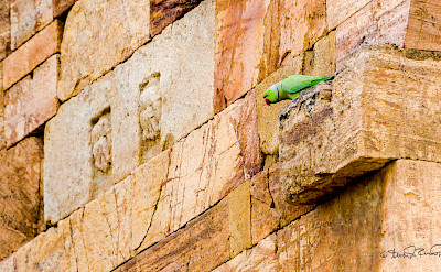 Parakeet at Qutub Minar in New Delhi, India. Flickr:Steven dosRemedios
