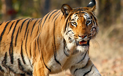 Royal Bengal Tiger in India. CC:Vijaymp