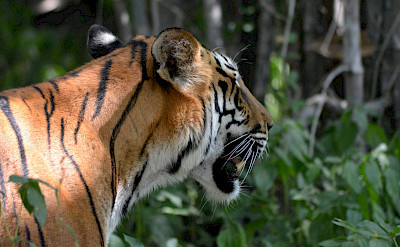Royal Bengal Tiger in India. Flickr:Ram's Foto