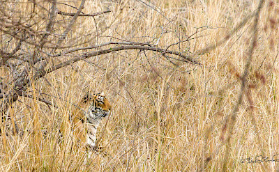 Bengal Tiger at Ranthambore National Park in India. Flickr:Steven dosRemedios