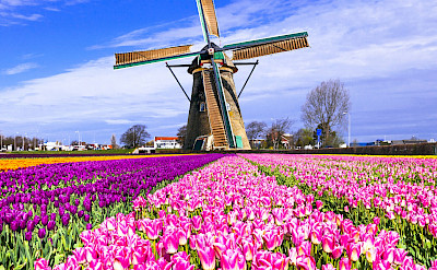 Tulip fields throughout Holland in the Springtime. Flickr:Matheus Swanson