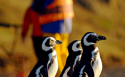 Penguins on the Argentina Cruise Ship Tour ©TO