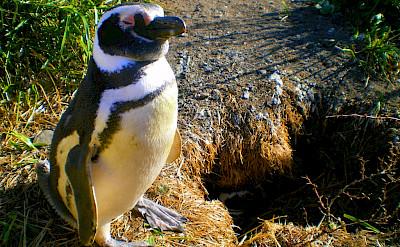 Pingüinos in Ushuaia, Argentina. Flickr:Steven dosRemedios