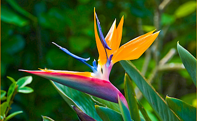 Bird of Paradise flower in Hawai'i. Flickr:Ron Cogswell