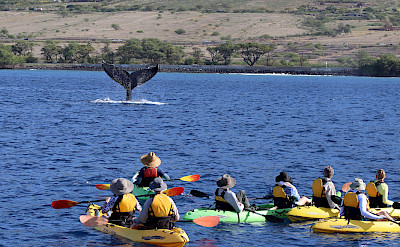 Kayaking guests see whale fluke, Hawaii. ©TO