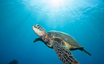 Sea turtle in Hawaii. ©TO