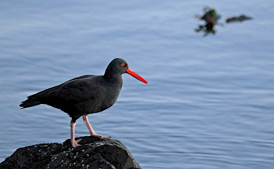 Black Oystercatcher, San Juan Islands Washington. Flickr:Stephen Baker