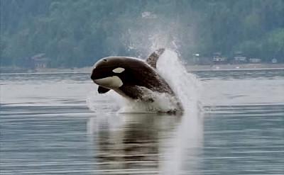 Orca at Salish Sea. CC:Minette Layne