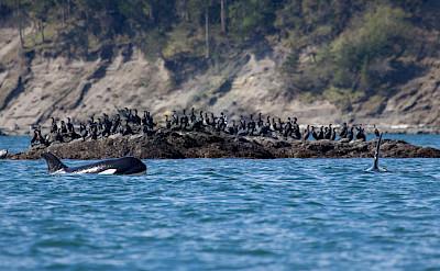 Orcas surfacing in San Juans, Washington. ©TO