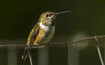 Rufous Hummingbird, Olympic National Park. Flickr:Francesco Veronesi