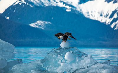 Bald Eagle taking off from an iceberg in Alaska. Flickr:Carey Case