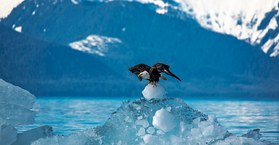 Bald Eagle taking off from an iceberg in Alaska. Flickr:Carey Case