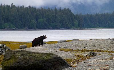 Brown bear on Admiralty Island in Alaska. Flickr:Don MacDougall