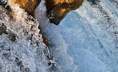 Grizzly bear salmon fishing. CC:Azov